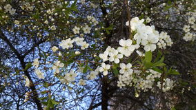 Вишневое дерево Стоковая Фотография RF