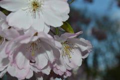 Вишневое дерево Стоковое Фото