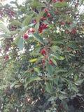 Вишневое дерево Стоковые Фотографии RF