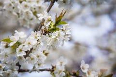 Вишневое дерево Стоковые Фото