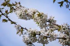 Вишневое дерево Стоковое фото RF