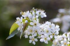 Вишневое дерево Pin Стоковое Изображение