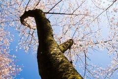 Вишневое дерево Yoshino против ясного голубого неба Стоковые Фото