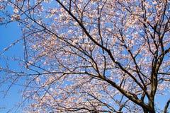Вишневое дерево Yoshino против ясного голубого неба Стоковое Изображение