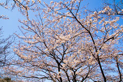 Вишневое дерево Yoshino против ясного голубого неба Стоковое фото RF