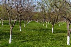 Вишневые деревья весны зацветая садовничают с зеленой травой в солнечном дне на сельской местности, концепции природы времени вес стоковое изображение rf
