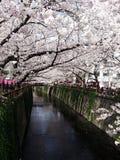 Вишневые деревья в Токио стоковые изображения