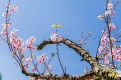 Вишневые деревья в парке Carmo Стоковые Фотографии RF