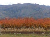 Вишневые деревья в цветах осени в Новой Зеландии Стоковые Фотографии RF