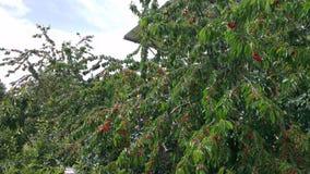 Вишневые деревья в южной Турции Стоковое Фото