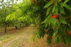 Вишневые деревья в Menerbes Стоковые Изображения RF