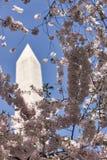 Вишневые деревья окружают памятник Вашингтона Стоковые Фотографии RF