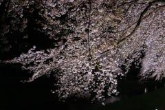 Вишневые деревья осветили вверх вдоль реки Nogawa, Sazumachi, Chofu-shi, токио, Японии весной Стоковая Фотография RF