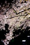 Вишневые деревья осветили вверх вдоль реки Nogawa, Sazumachi, Chofu-shi, токио, Японии весной Стоковое фото RF