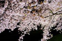 Вишневые деревья осветили вверх вдоль реки Nogawa, Sazumachi, Chofu-shi, токио, Японии весной Стоковые Фотографии RF