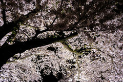 Вишневые деревья осветили вверх вдоль реки Nogawa, Sazumachi, Chofu-shi, токио, Японии весной Стоковое Изображение