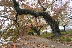 Вишневые деревья с листвой осени Стоковые Изображения RF