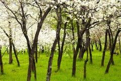 Вишневые деревья Стоковые Фотографии RF