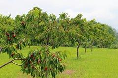 Вишневые деревья Стоковая Фотография