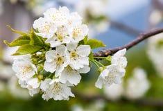 Вишневые цвета весной Стоковые Фото
