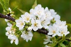 Вишневые цвета весной Стоковые Фотографии RF