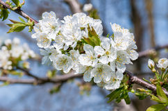 Вишневые цвета весной Стоковая Фотография