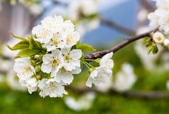 Вишневые цвета весной Стоковое фото RF