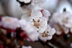 Вишневые цвета весной Стоковое Фото