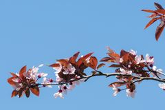Вишневые цвета весны, розовые цветки на голубом небе Стоковые Фото