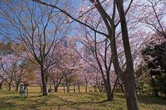 Вишневые цвета весны, розовые цветки Стоковые Изображения RF