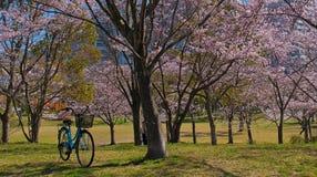 Вишневые цвета весны, розовые цветки Стоковое Фото