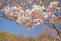 Вишневые цвета весны, розовые цветки Стоковое Изображение