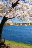 Вишневые цвета весны Стоковое фото RF