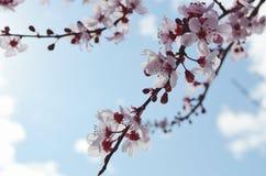 Вишневые цвета весны Стоковое Изображение RF