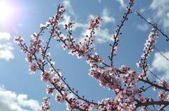 Вишневые цвета весны Стоковые Изображения