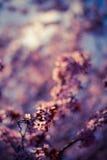 Вишневые цвета весны Стоковая Фотография RF