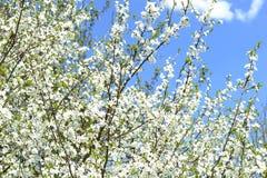 Вишневые цвета весны Стоковое Изображение
