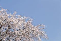 Вишневые цвета в Киото в висках Daigo-Ji, деталях, цветках, ветвях, голубом небе во время hanami стоковое фото rf