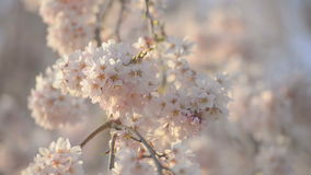 Вишневые цвета, в парке Showa Kinen, токио, Япония сток-видео