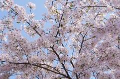 Вишневые цвета в цветени Стоковая Фотография