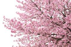 Вишневые цвета или розовая Сакура Стоковое фото RF