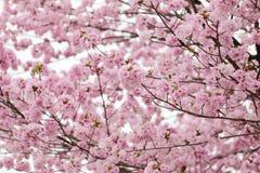 Вишневые цвета или розовая Сакура Стоковая Фотография RF