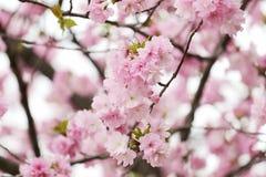 Вишневые цвета или розовая Сакура Стоковые Фото