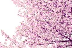 Вишневые цвета или розовая Сакура Стоковая Фотография