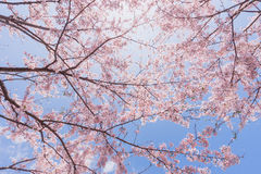 Вишневые цвета или Сакура с голубым небом Стоковая Фотография