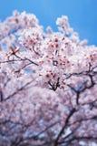 Вишневые цвета или Сакура с голубым небом Стоковое фото RF