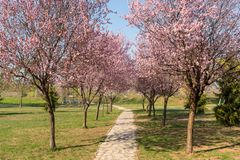Вишневые цвета и романтичный тоннель розовых деревьев цветка вишни цветут и сезон идя пути весной в парке стоковое фото