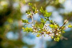 Вишневые цвета над запачканной весной предпосылки природы цветут предпосылка весны с ветвью дерева bokeh с вишней Стоковые Фотографии RF