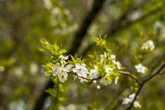 Вишневые цвета над запачканной весной предпосылки природы цветут предпосылка весны с ветвью дерева bokeh с вишней Стоковое Фото