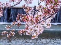 Вишневые цвета над рекой стоковое изображение